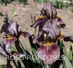 GREEN GILLS - IB IRIS 2017 BAISCH INTRODUCTION ROSS ROAD IRIS