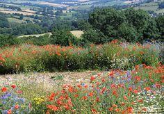 Summer Poppy Field, Wiltshire, England by Badger Bazzrett, via Flickr