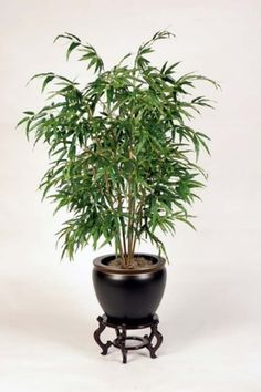 Bamboo Palm: According to NASA, it removes formaldehyde and is also said to act as a natural humidifier. The bamboo palm refreshes the ambiance of your house with clean and pure air.