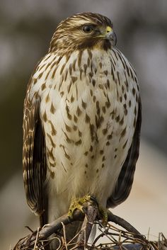 Red Tailed Hawk  by alextbaum, via Flickr