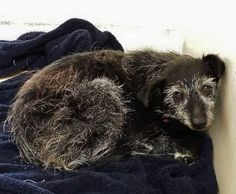 She's 11 and so overwhelmed by her experience she want to curl up into a ball and disappear. Please SHARE for her life, a FOSTER or Adopter would save her life. Thanks! #A4859361 I'm an approximately 11 year old female affenpinscher. I am already spayed. Carson Shelter https://www.facebook.com/171850219654287/photos/pb.171850219654287.-2207520000.1437929739./459043770934929/?type=3&theater