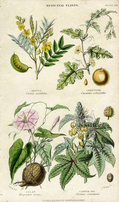Rhind Vegetable Kingdom botanical prints 1860