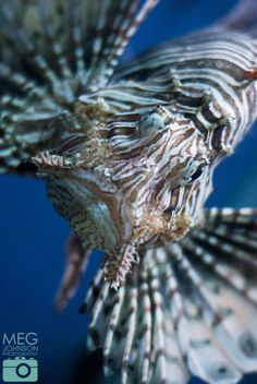 Lionfish. NMAs winning image for Photographer of the Year 2014.   www.megsphotos.co.uk