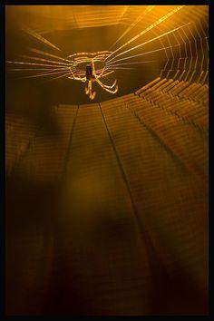 ♂ Golden spider and net