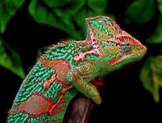 lizard - colors