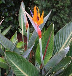 Flor Ave del Paraíso o, Strelitzia reginae. Una de las flores más exóticas que podemos ver por los jardines. - http://www.floresyplantas.net/strelitzia-reginae/