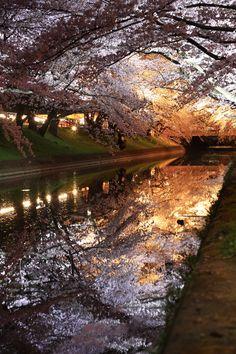 金色桜の画像(写真)