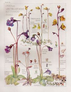 Botanical Print by H. Isabel Adams - Butterwort Family - Pretty and Delicate