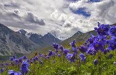 Himalayan blue poppy (Meconopsis betonicifolia)