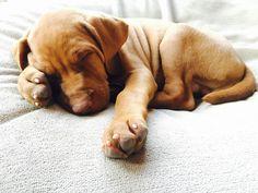 Sleeping Vizsla pup