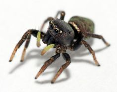 Jumping Spider! So cute!