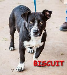 09/14/2016 BISCUIT - SUPER URGENT - ALPINE HUMANE SOCIETY in Alpine, TX - ADOPT OR FOSTER - 2 year old Heeler/Terrier mix, Small adult male, friendly, loves attention, not a loud barker and no signs of aggression. Considered to make a good family dog.
