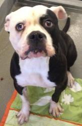 Xena Is An Adoptable American Bulldog Dog In Pleasantville Nj