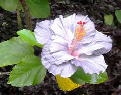 """Blue Bayou"" (Hibiscus rosa-sinensis) at Hawaii Tropical Botanical Garden"