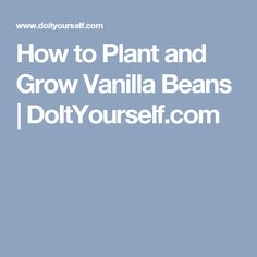 How to Plant and Grow Vanilla Beans   DoItYourself.com