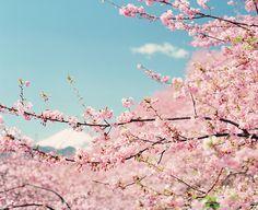 Love Cherry trees