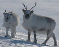 Being the world's northernmost deer species, the Svalbard reindeer represents a unique opportunity to study adaptations and constraints to ungulate life and physiology in general. Arctic Animals, Nature Animals, Baby Animals, Cute Animals, Reindeer Facts, Real Reindeer, Reindeer Photo, Reindeer Antlers, Beautiful Creatures