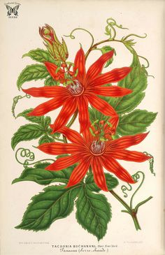 Passiflora vitifolia [as Tacsonia buchanani ] L' Illustration horticole, vol. Art Floral, Flower Graphic, Botanical Flowers, Botanical Prints, Botanical Gardens, Illustration Botanique, Botanical Illustration, Impressions Botaniques, Garden Of Earthly Delights