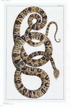 Albertus Seba Snake Print -- Garden Tree Boa