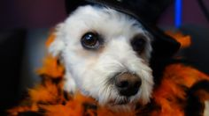 Rosie is all dressed up for Halloween