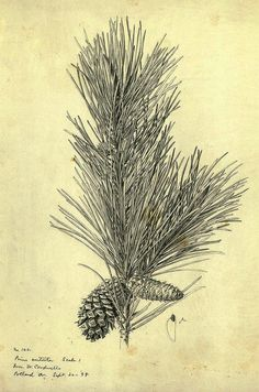 Frederick Walpole, a famous botanical illustrator, drew this image of the branch of a lodgepole pine in 1898.