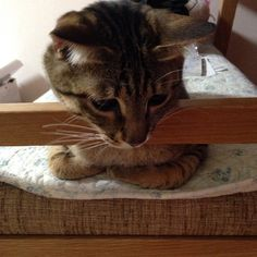 「うつむかない‼️ #もんちゃん #montblanc #monchan#cat #catstagram #tabby #tabbycat #browntabby #kitty #こねこ #子猫 #仔猫 #ねこ #猫 #ネコ #にゃんこ #キジトラ #とらねこ #トラ猫 #虎猫」