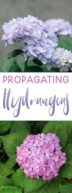 Propagating Hydrangeas is an easy way to produce more gorgeous flowers. Here are a few simple tips on how to propagate Hydrangeas. Hydrangea Garden, Garden Shrubs, Hydrangea Flower, Garden Plants, Flowering Shrubs, Shade Garden, Garden Care, Propagating Hydrangeas, Starting A Garden
