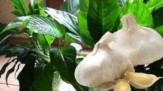 Toto je důvod, proč mám každý rok bohatou úrodu rajčat, ukázkový trávník a žádné škůdce v zahradě: Nasypte do zahrady tuto přísadu, účinek se projeví hned! – Domaci Tipy Pink Roses, Pesto, Plant Leaves, Garlic, Vegetables, Urban Gardening, Macrame, Plant, Flowers