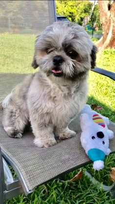Frankie's web page on Shih Tzu Rescue, Inc. | Adoptable Dogs Small Dog Rescue, Rescue Dogs, Tiny Puppies For Sale, Shih Tzu Rescue, Yorkie Puppy, Maltese Dogs, Shih Tzus, Mixed Breed, Dog Food