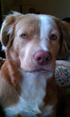A pitbull/golden retriever mix.  Coolest looking dog!