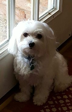 My Maltese Millie waiting by the back door