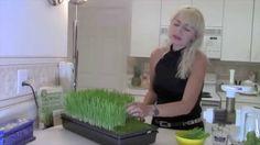 Como sembrar Hierba de Trigo paso a paso Wheatgrass