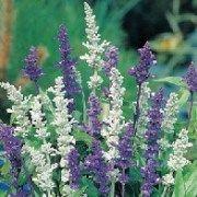Salvia Blue White.jp4d37d5fa2f5ae.jpg