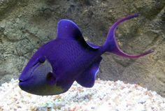 ... Niger Triggerfish ....