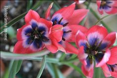 BelleWood-Gardens - Diary  Tulipa 'Little Beauty', landscaping, gardening Exposed Sites, tolerates exposed or windy sites.