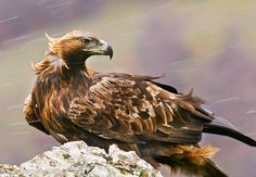 Golden Eagles are quite inspiring. They overcome and endure. They also demonstrate bravery. Bravery is not the nonexistence of fear. It is the skill of overcoming it. Many people in this world can not do so. But eagles can. Most Beautiful Birds, Beautiful World, Eagles, Golden Eagle, Animal Totems, Birds Of Prey, Raptors, Mythical Creatures, Pet Birds
