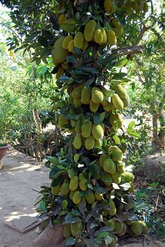 Jackfruit tree by Dragonsaur Long, Jack fruit are really unusual, They're big as a pumpkin yet they grow in trees They spikey on the outside yet soft and smooth in the outside  And some even taste a bit like mango!