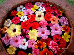 Tropical Flowers From Hawaii | ... many varieties of hibiscus it is the state flower of hawaii and the