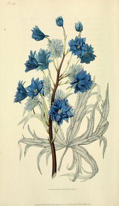 William Clark paints beautiful flowers. Delphinium elegans var. pleno