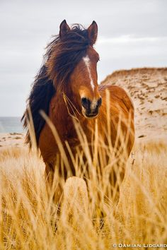 Nature photography from Sable Island   Sable Island wild horses   Lidgard Photography