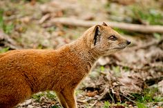 Yellow Mongoose by SuperNeej, via Flickr