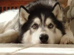 disappointed husky - photo #5