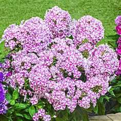Spring Hill Nurseries Candy Crush Bambini Garden Phlox, Live Bareroot Perennial Plant, White and Pink Flowers Plants, Bulb Flowers, Pink Flowers, Wholesale Flowers, Fragrant Flowers, Flowers, Seasonal Container Gardening, Container Gardening, Perennial Plants