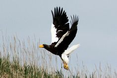 See rare Steller's Sea eagles in the Russian Far East