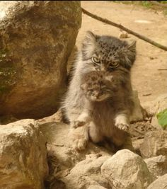 Pallas mother with pup Rare Cats, Exotic Cats, Animals And Pets, Baby Animals, Cute Animals, Beautiful Cats, Animals Beautiful, Manul Cat, Pallas's Cat