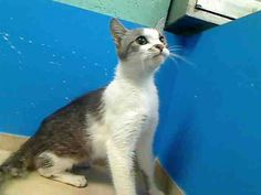 URGENT!!! BEAUTIFUL ***FRIENDLY YOUNG GIRL DUMPED AS A STRAY - PLEASE SAVE CLEOPATRA!!!*** ON THE WED. 6/5/13 NYCACC EUTHANASIA LIST 2 year old Cleopatra needs out of NYCACC NOW!!! Brooklyn Center  My name is CLEOPATRA. My Animal ID # is A0966698. I am a female br tiger and white br tiger. The shelter thinks I am about 2 YEARS old.  I came in the shelter as a STRAY on 05/28/2013 from NY 11233, owner surrender reason stated was STRAY.
