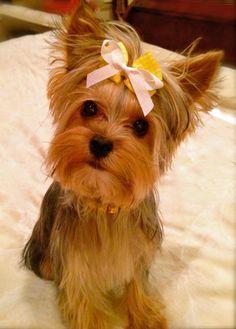 Ava Lynn the Yorkshire Terrier