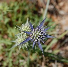 Cardinho-azul ( Eryngium dilatatum) @ Arrábida Natural Park - Portugal
