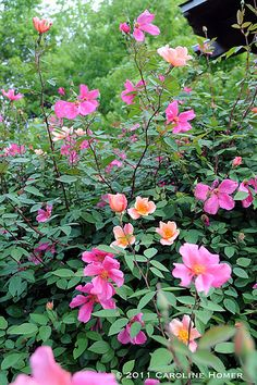 If I was going to choose just one rose for the garden this would be it - Rosa x odorata 'Mutabilis', a rosa chinensis which starts flowering quite early in the year and is one of the last to finish. It bears shocking pink and peachy-apricot flowers on deep maroon stems. The leaves are glaucous. It will make 1.5m x 1.5m or more. I have planted this rose in the UK, France, Italy and Spain and it thrives wherever I plant it. Source: The Shovel-Ready Garden.