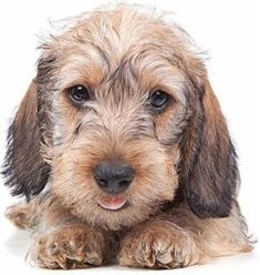 Oh my!  How cute are you my little Wirehair Dachshund?
